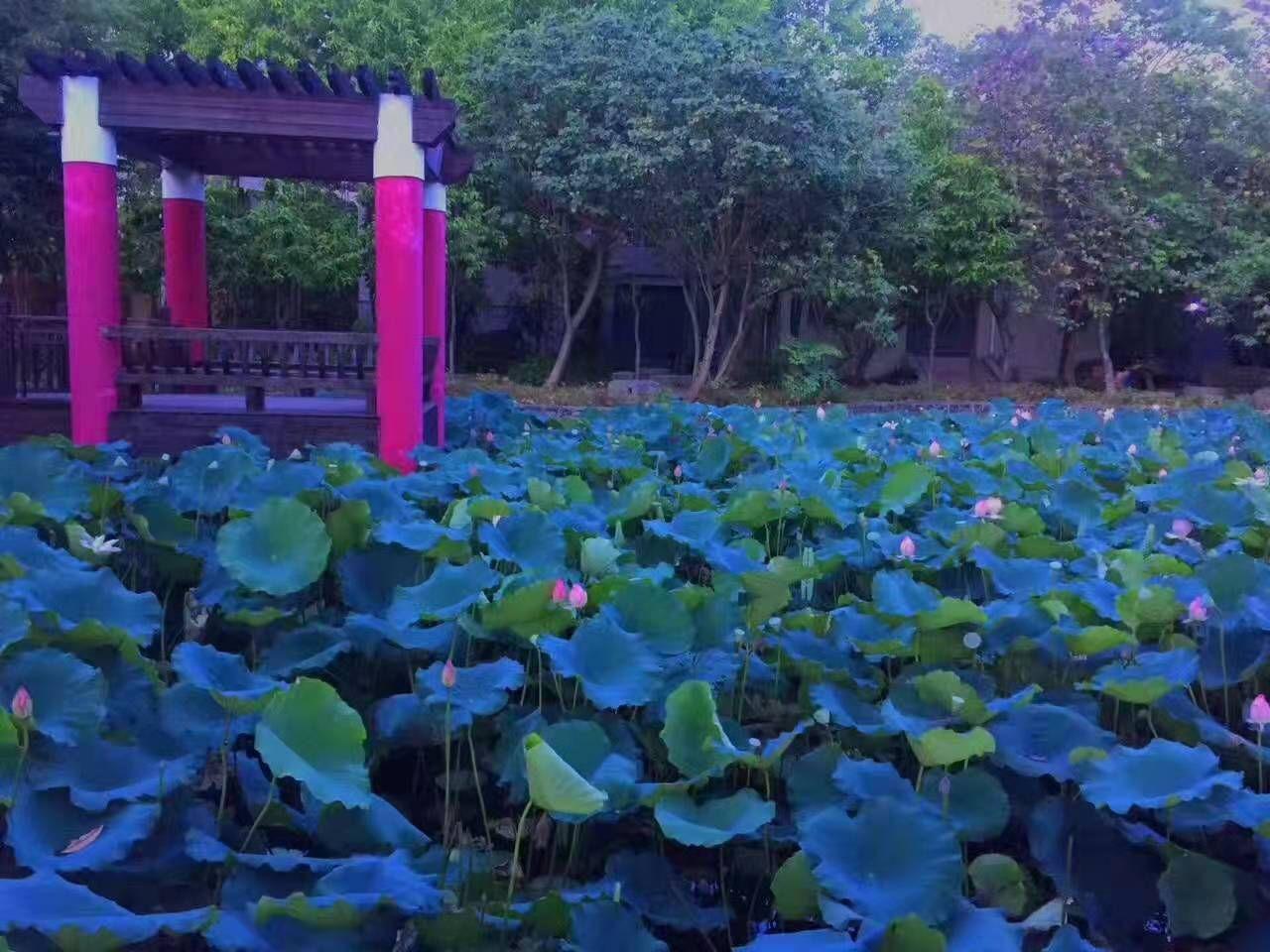 学校池塘的荷花池