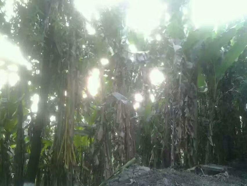 楼下的芭蕉林